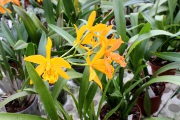Cattleya_Orchideen_Koch
