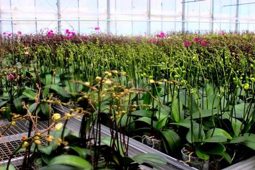 Orchideen_Koch_Gewächshaus1