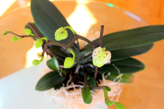 Phalaenopsis_Orchidee