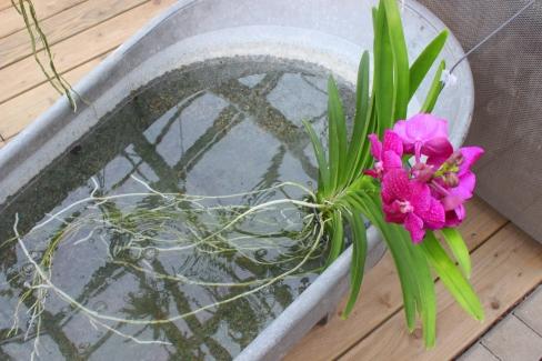 Vanda_Orchideen.Koch