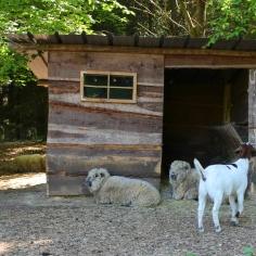 Wild Vosswinkel Schafe Ziege