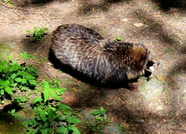 Wildwald Vosswinkel Marderhund