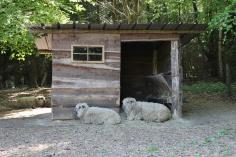 Wildwald Vosswinkel Schafe