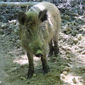 Wildwald Vosswinkel Wildschwein