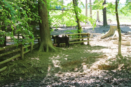 Wildwald Vosswinkel Wildschweingehege