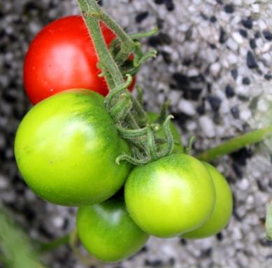 Mr. Nature Tomaten