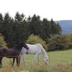 Wildewiese Pferde