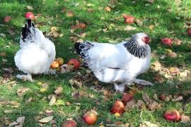 Sauerlandseifen Hühner