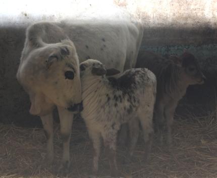 Zwergzebu vom Gutshof Original Kuh Kalb