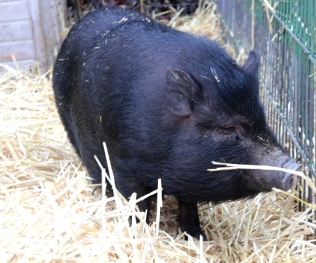 microschwein ausgewachsen