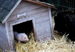 microschwein ferkel mutter