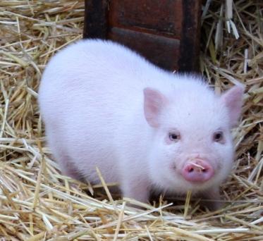 microschwein im im stroh