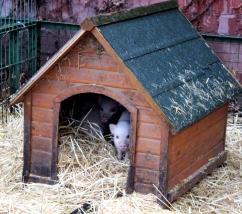 microschwein neugierig