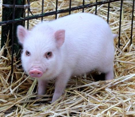 microschwein stroh 1