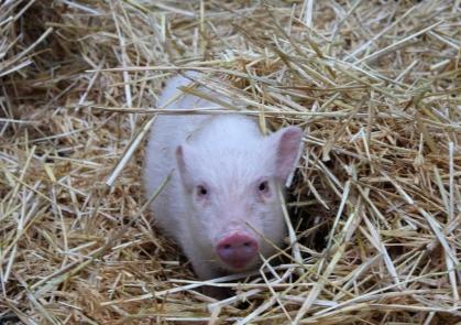 microschwein stroh