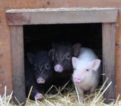 microschweine hütte 1