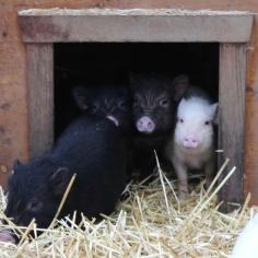microschweine hütte 2