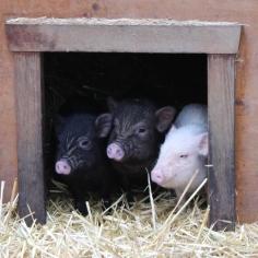 microschweine hütte 3