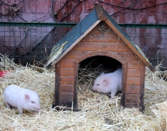 microschweine hütte