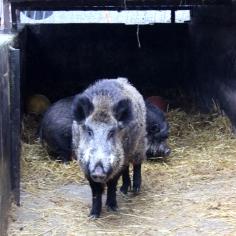 wildschwein joschi 1
