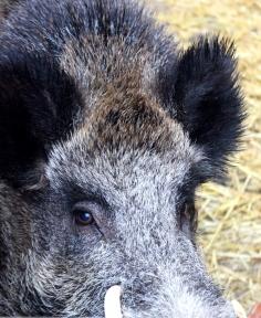 wildschwein joschi 3