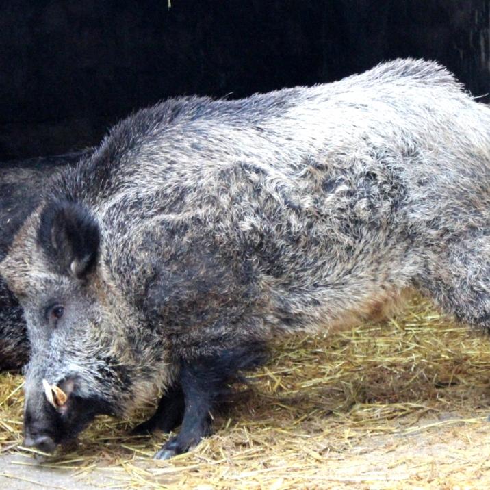 wildschwein joschi