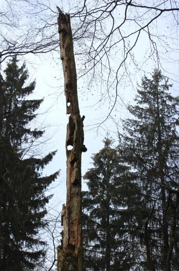 Sauerland Wald abgestorbener Baum