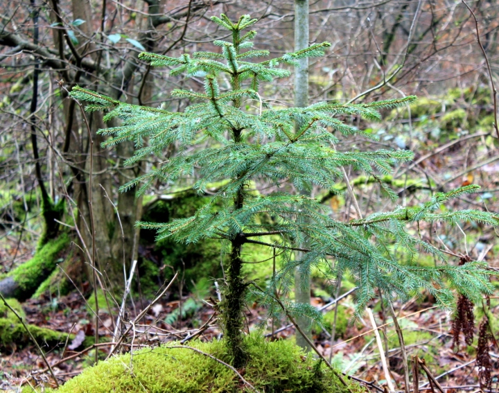 Sauerland Wald Fichte auf Stamm
