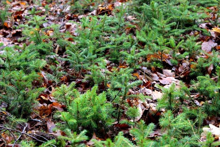 Sauerland Wald kleine Fichten