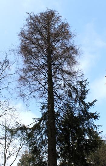 Sauerland Wald tote Fichte