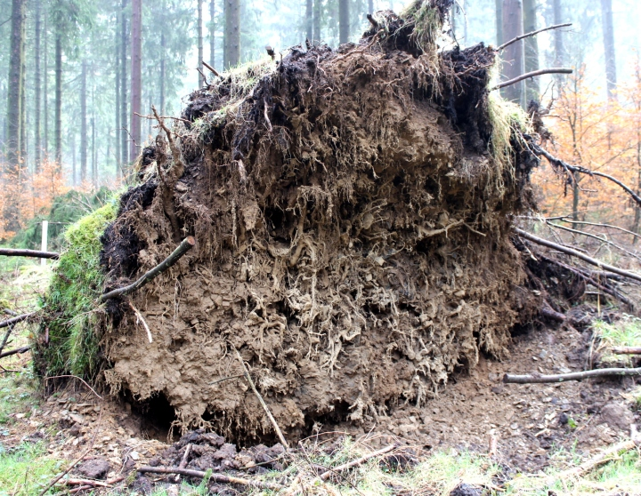 Sauerland Wald Wurzel