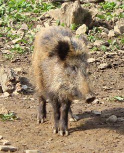 Bilsteintal Wildschwein allein
