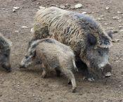 Bilsteintal Wildschwein