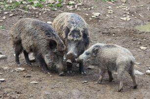 Bilsteintal Wildschweine Gruppe