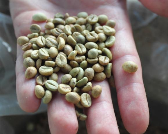 Quadro Coffee Kaffeebohnen Hand