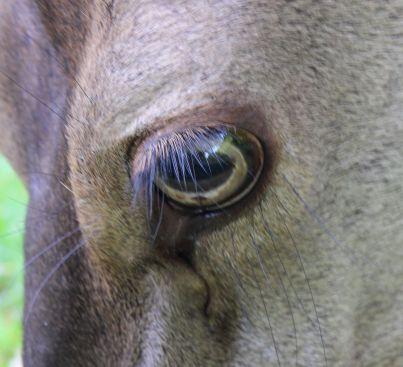 Rothirsch Auge