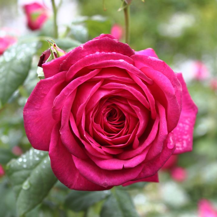 Rosendorf Assinghausen Rose Goethe