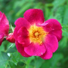 Rosendorf Assinghausen Rose pink