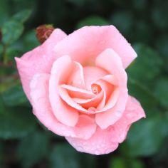 Rosendorf Assinghausen Rose rosa