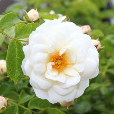 Rosendorf Assinghausen Rose weiß