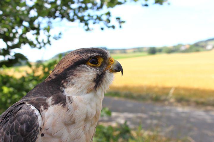 Skyhunters in Nature Lanner Falke Feld