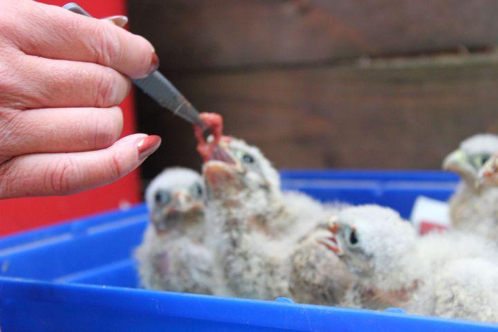 Skyhunters in Nature Turmfalken Babys Fütterung
