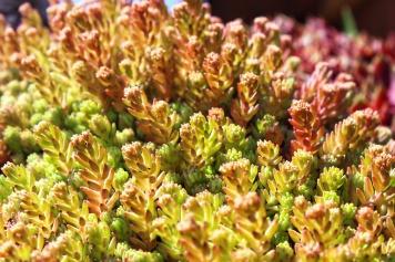 Rosen und Steinrosen Sedum 1-01
