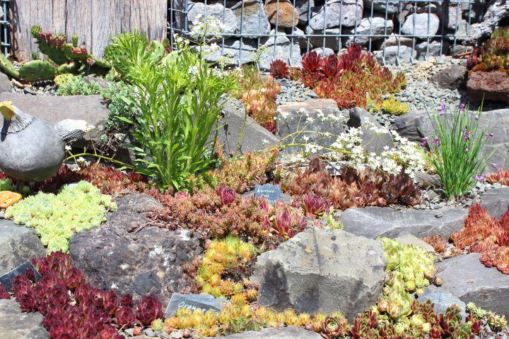 Rosen und Steinrosen Steingarten 1
