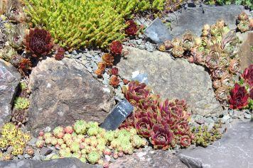 Rosen und Steinrosen Steingarten 2