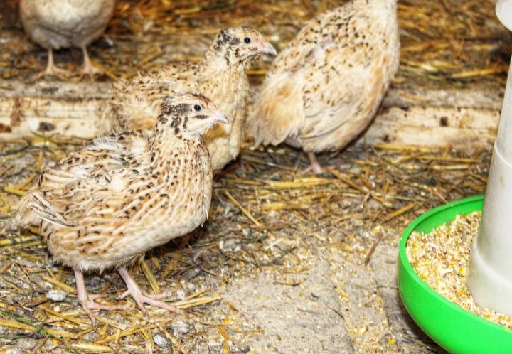 Wachteln Sauerland Eier Fleisch Eierlikör Nudeln-01
